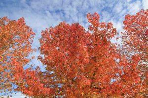 erables-automne